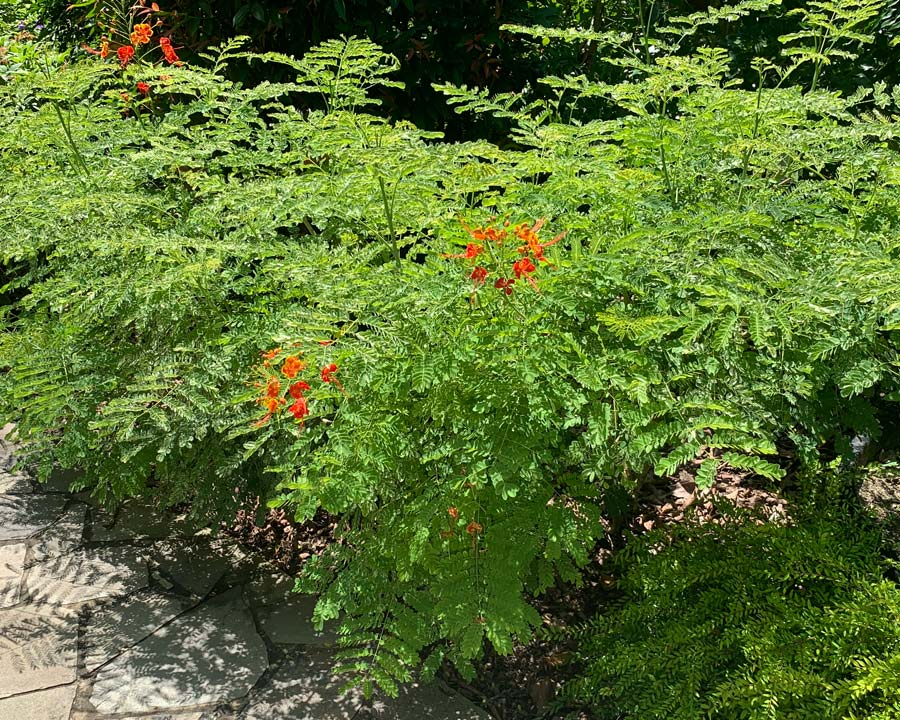 Caesalpinia pulcherrima - Pionciana or Peacock Flower - Open bushy shrub with soft foliage