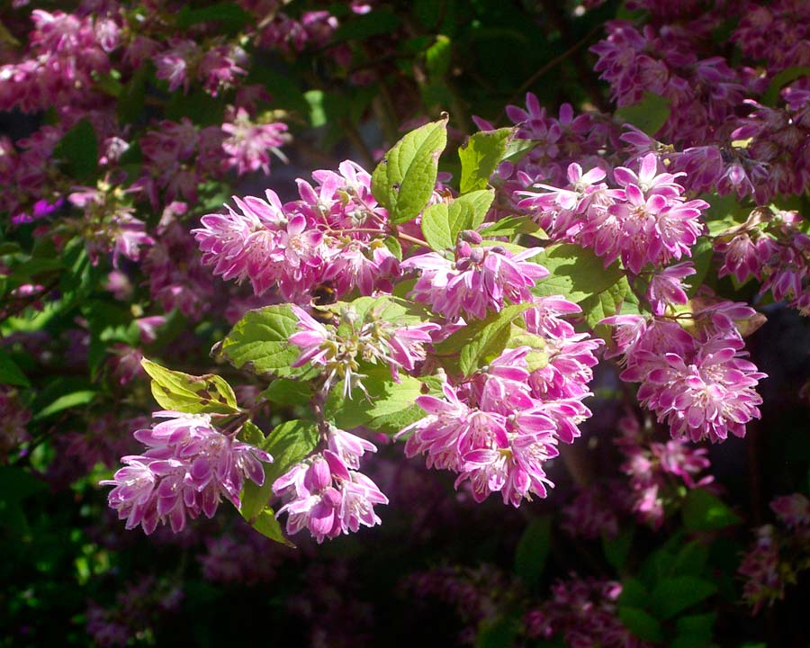 Deutzia 'Strawberry Fields' clusters of open cup shaped pink flowers in late spring