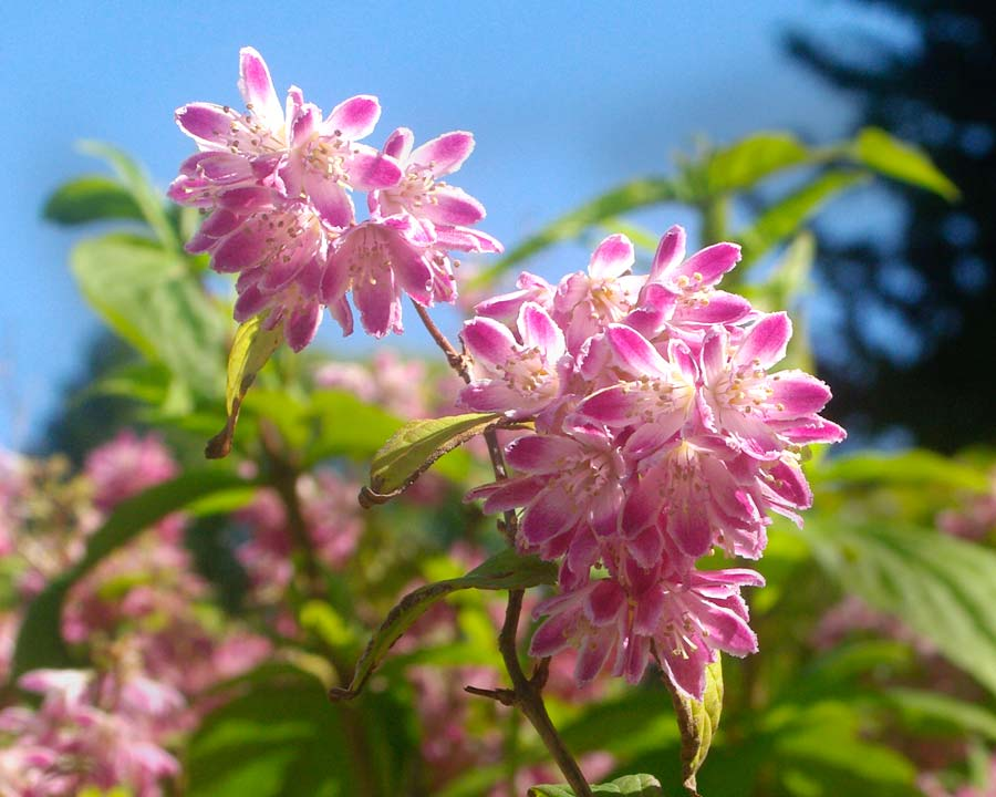 Deutzia 'Strawberry Fields' - star shaped pink and white flowers