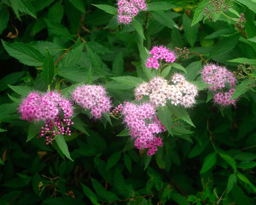 Spiraea Japonica 'Genpei' - clusters of flowers - shades of pink and white