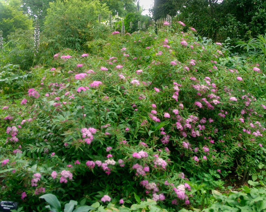 Spiraea japonica 'Genpei' dwarf form with a mix of deep pink and white flowers