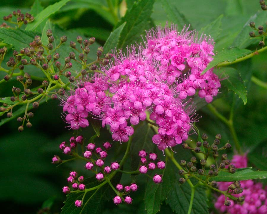 Spiraea japonica 'Genpei' - pink and white flowers