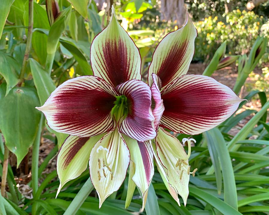 Hippeastrum papilio - Butterfly Hippeastrum - White to apple-green petals with burgundy markings