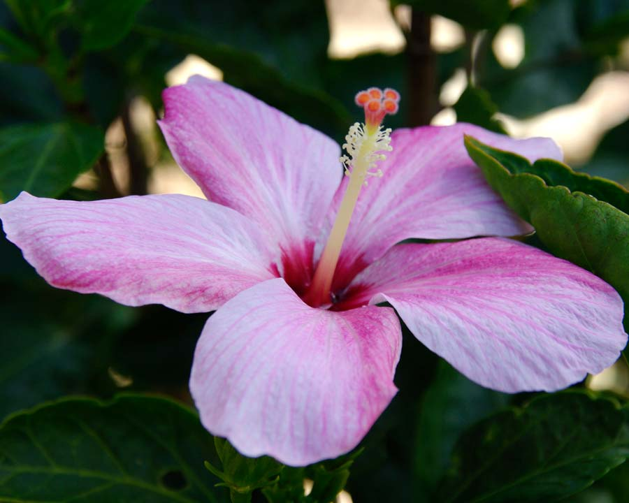 Hibiscus genevii or the Mandrinette is a critically endangered species from Mauritius