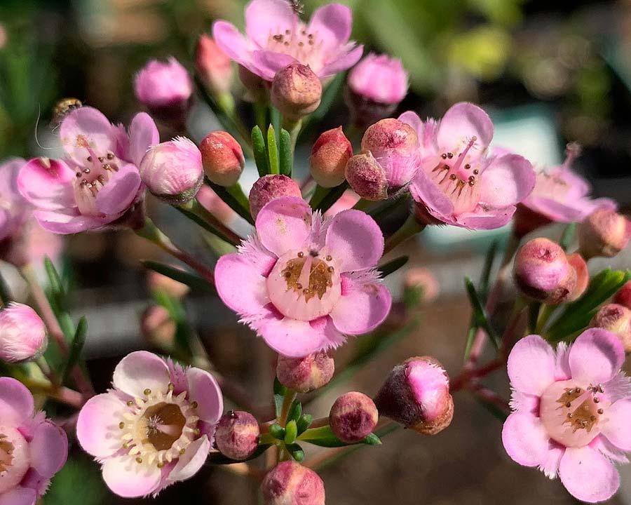 Chamelaucium x Verticordia 'Paddys Pink'