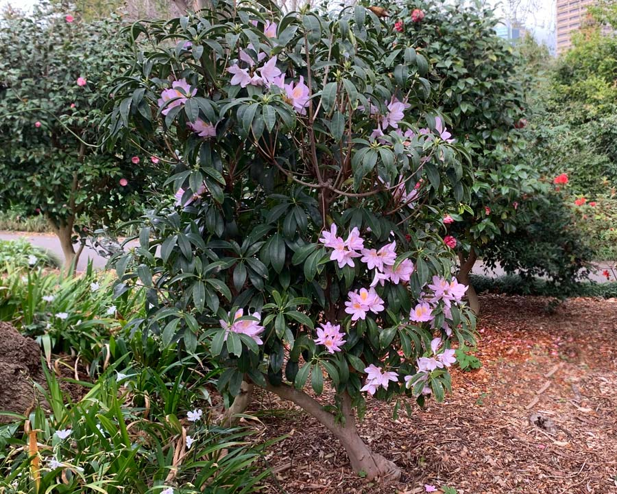 Rhododendron moulmainense, Westland's Rhododendron