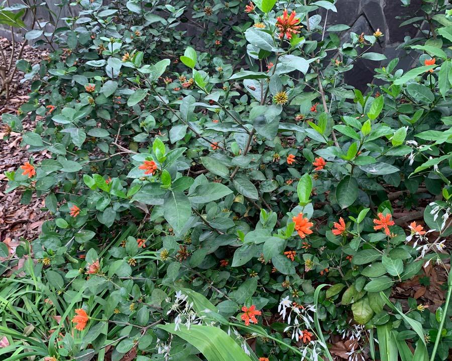 Burchellia bubalina, Wild Pomegranate