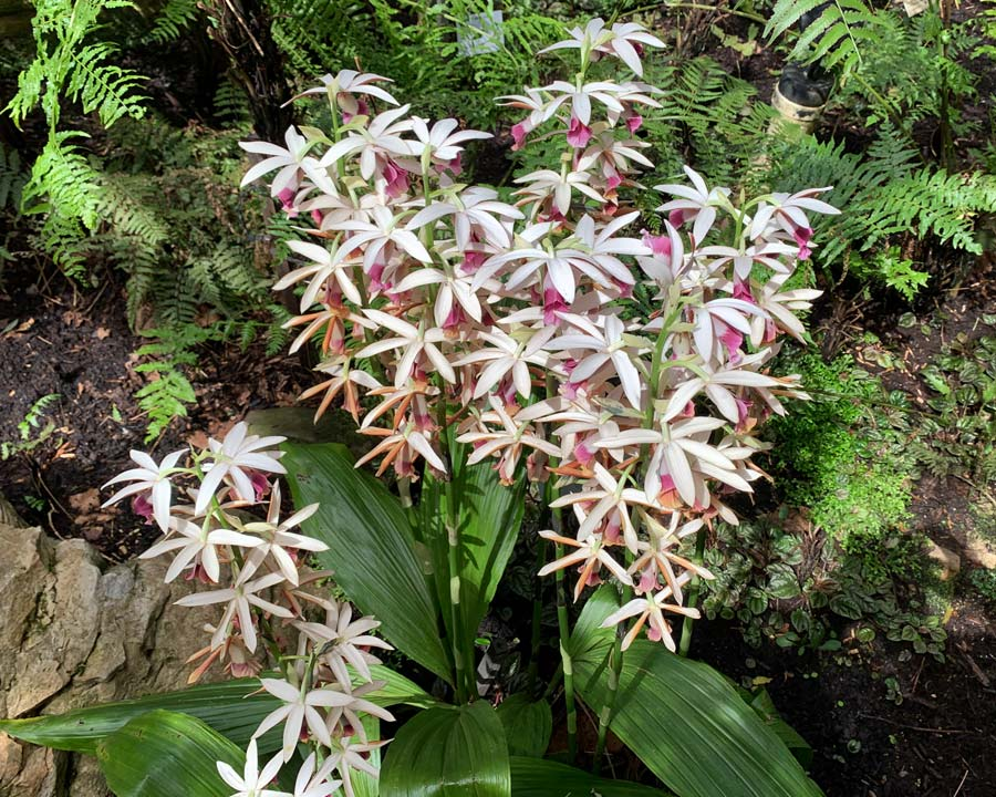 Phaius australis - Lesser Swamp Orchid