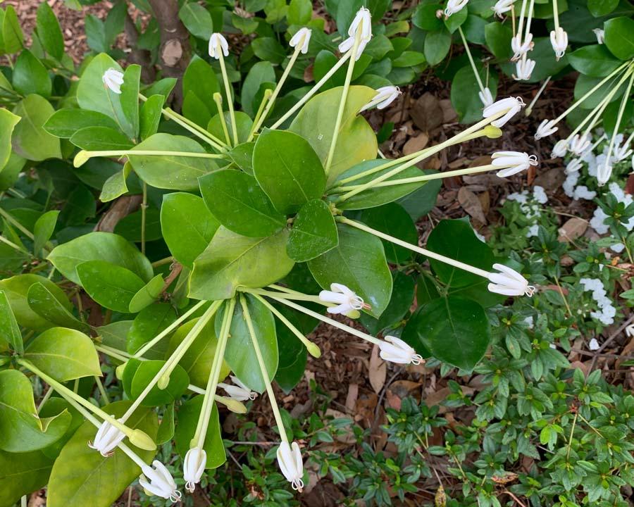 Posoqueria longiflora, Needle flower