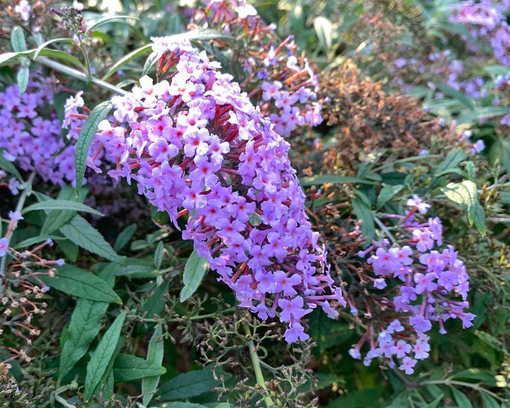Buddleja lindleyana, the Butterfly Bush