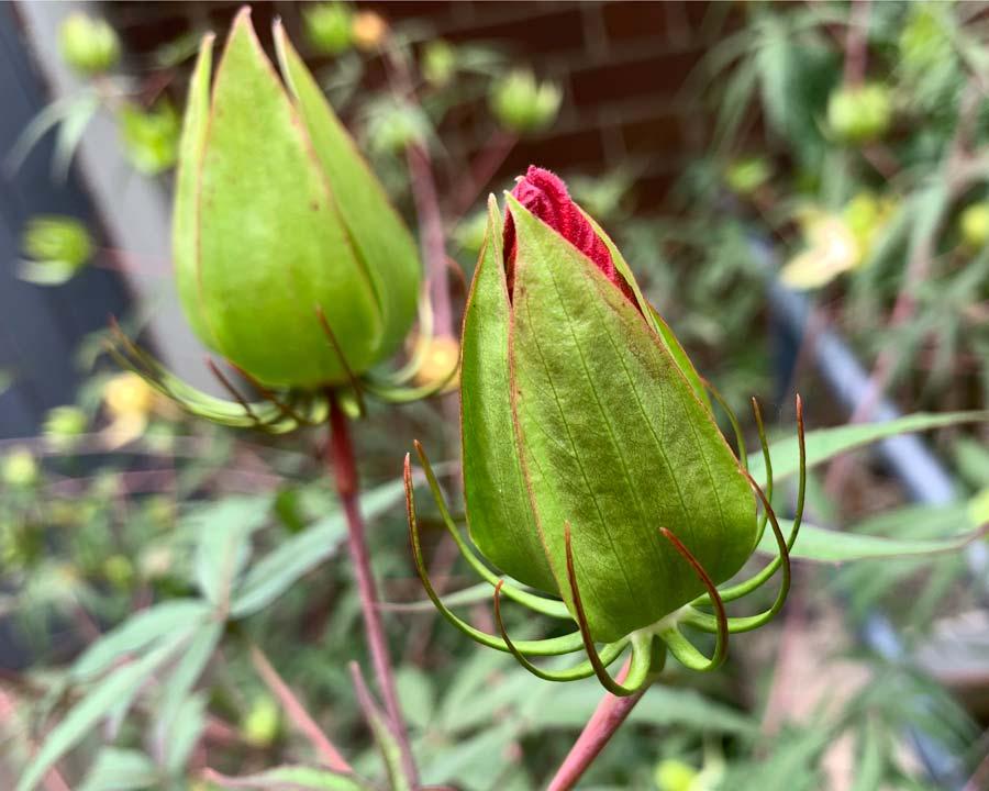 Hibiscus coccineus, Scarlet Rose Mallow