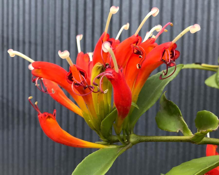 Aeschynanthus parasiticus - Lipstick Plant