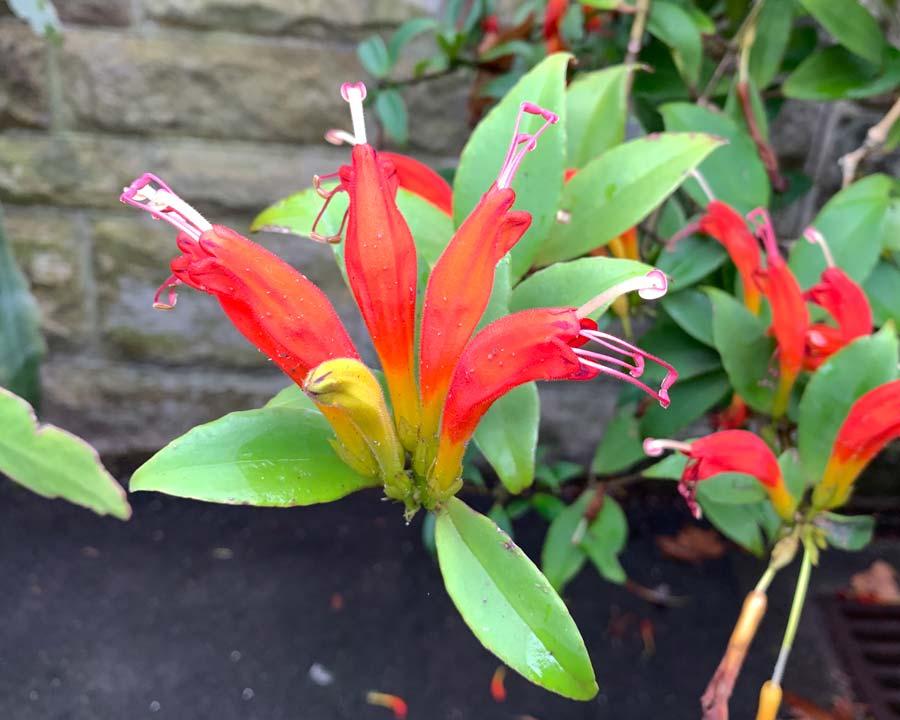 Aeschynanthus parasiticus - bright orange red tubular blooms