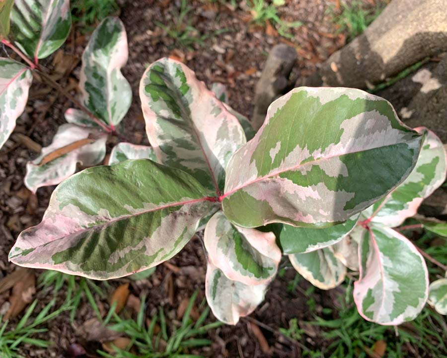 Acokanthera oblongifolia variegata - attractive cream, green and pink variegated leaves - plant is highly toxic