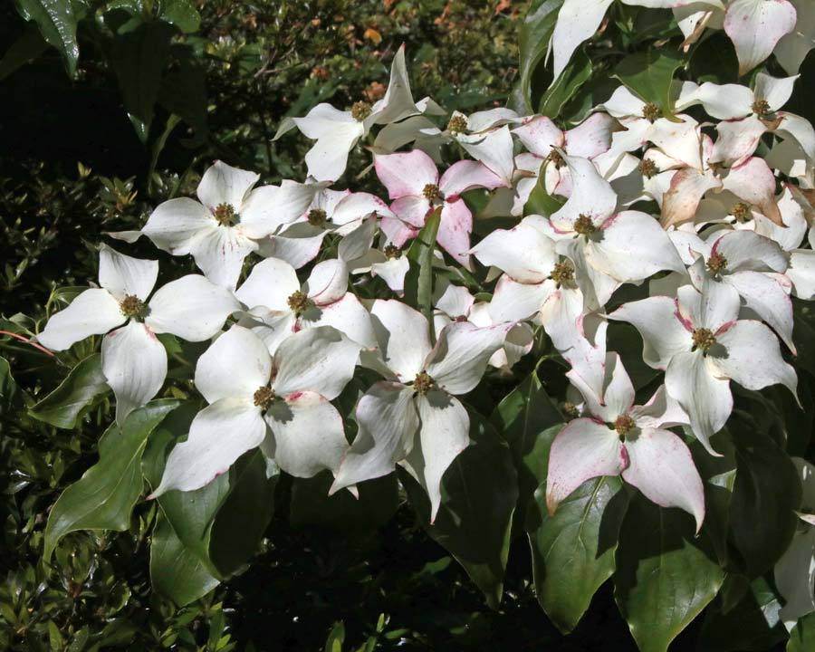 Cornus kousa chinensis or Kousa Dogwood