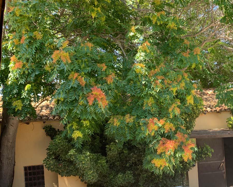 Ailanthus altissima, Tree of Heaven