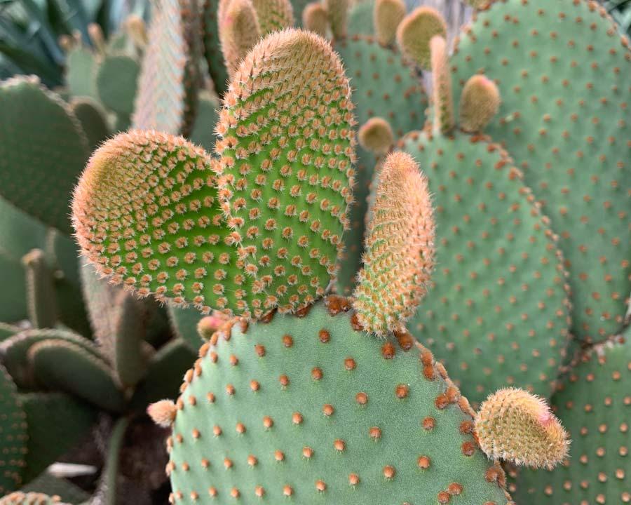 Opuntia rufida