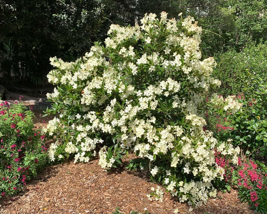 Brunfelsia undulata 'White Caps' bushy shrub - covered with fragrant white flowers in Spring and Autumn