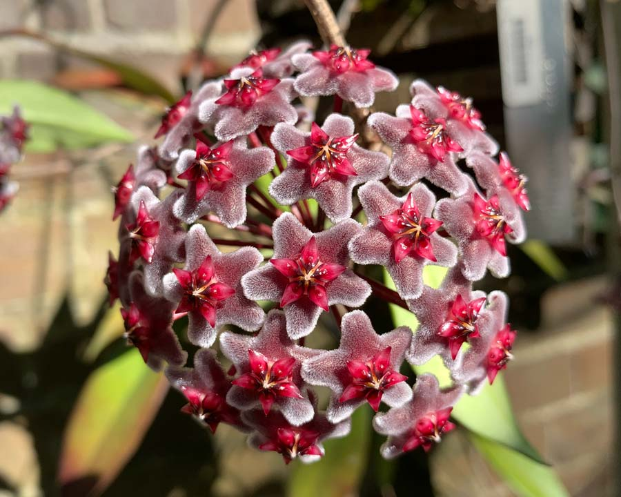 Hoya pubicalyx 'Red Buttons' - umbels of purple and red star-like flowers