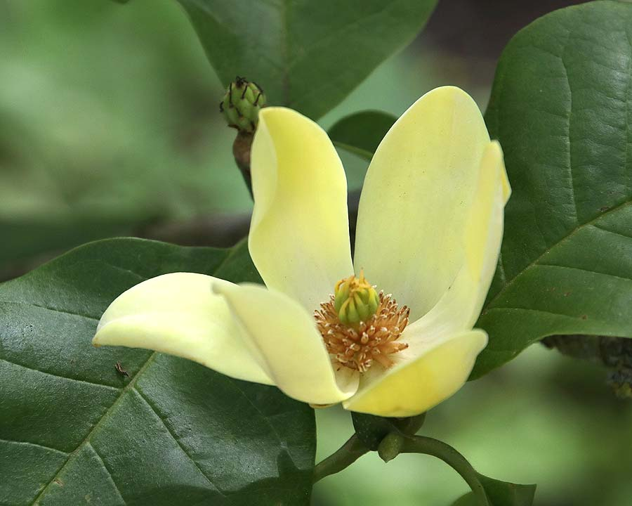 Magnolia x Brooklynensis 'Yellow Bird'