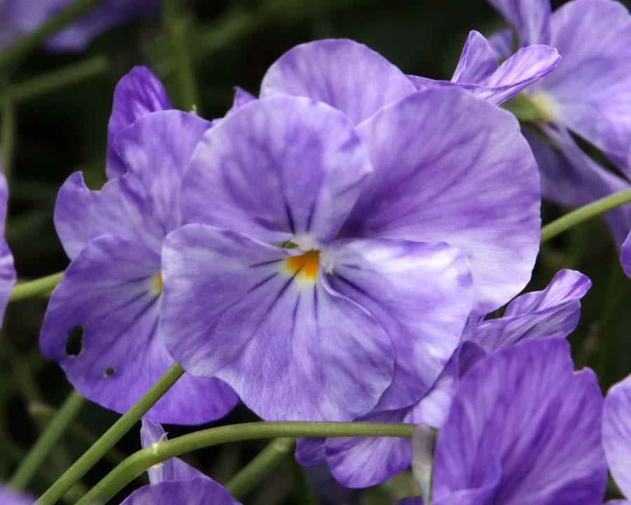 Viola x cornuta 'Columbine'