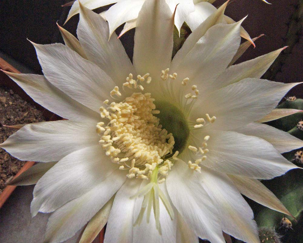Echinopsis oxygona - photo pollobarca2