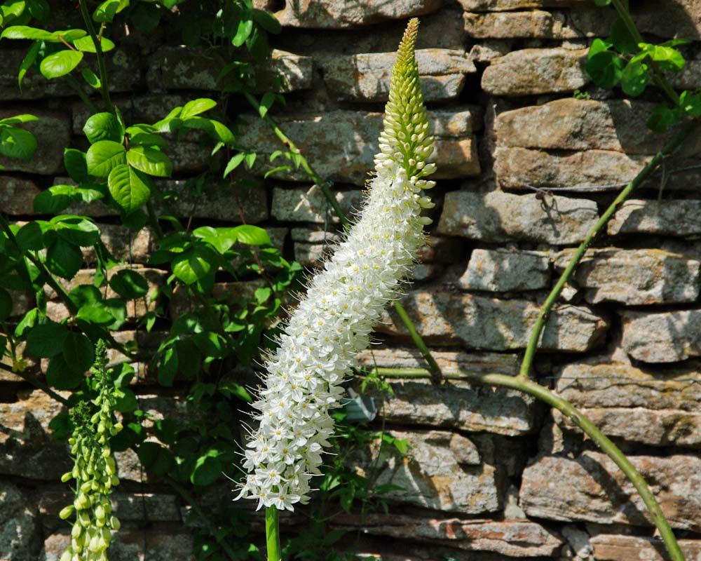 Eremurus himalaicus - Himalayan Foxtail Lily