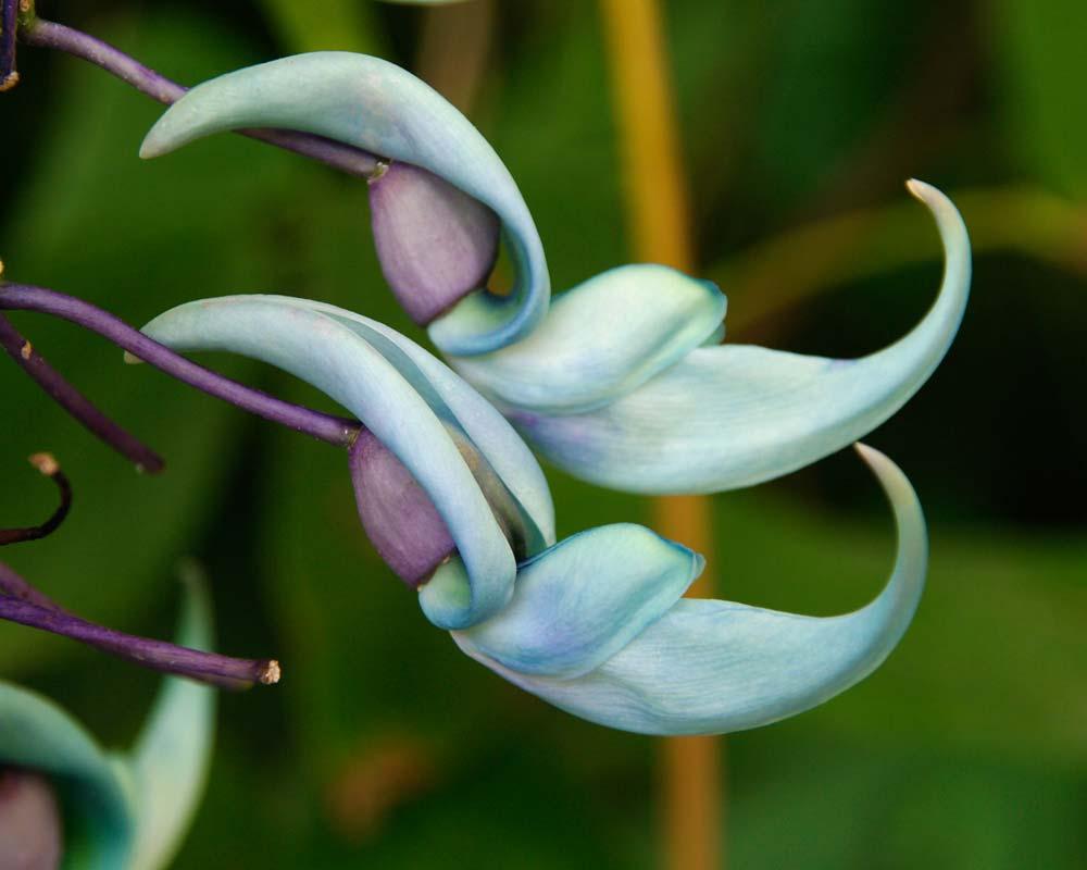 Strongylodon macrobotrys - Jade Vine