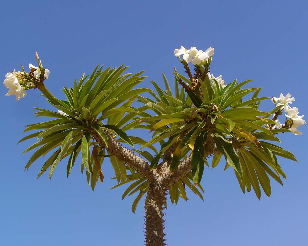 Pachypodium lamerei - Madagascar Palm - photo H. Zell