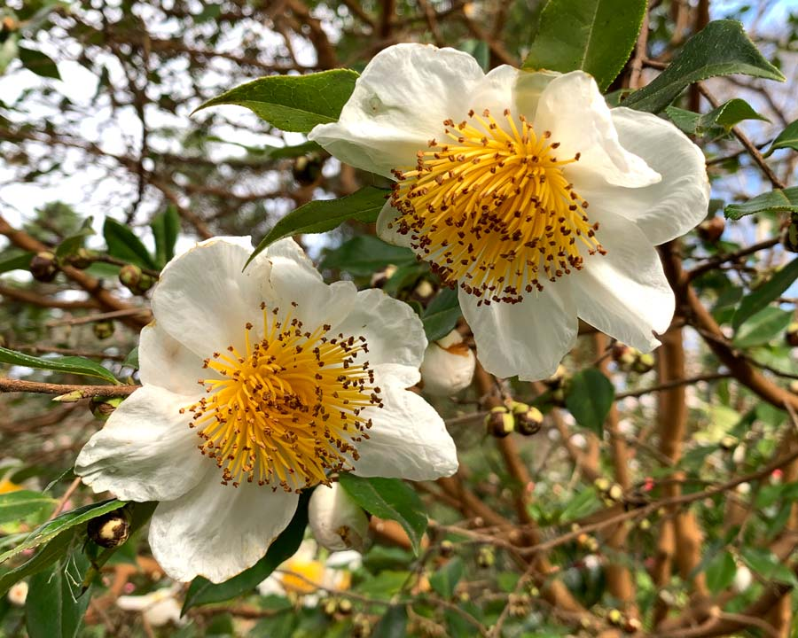 Camellia yunnanensis - open white flowers with prominent deep yellow stamen