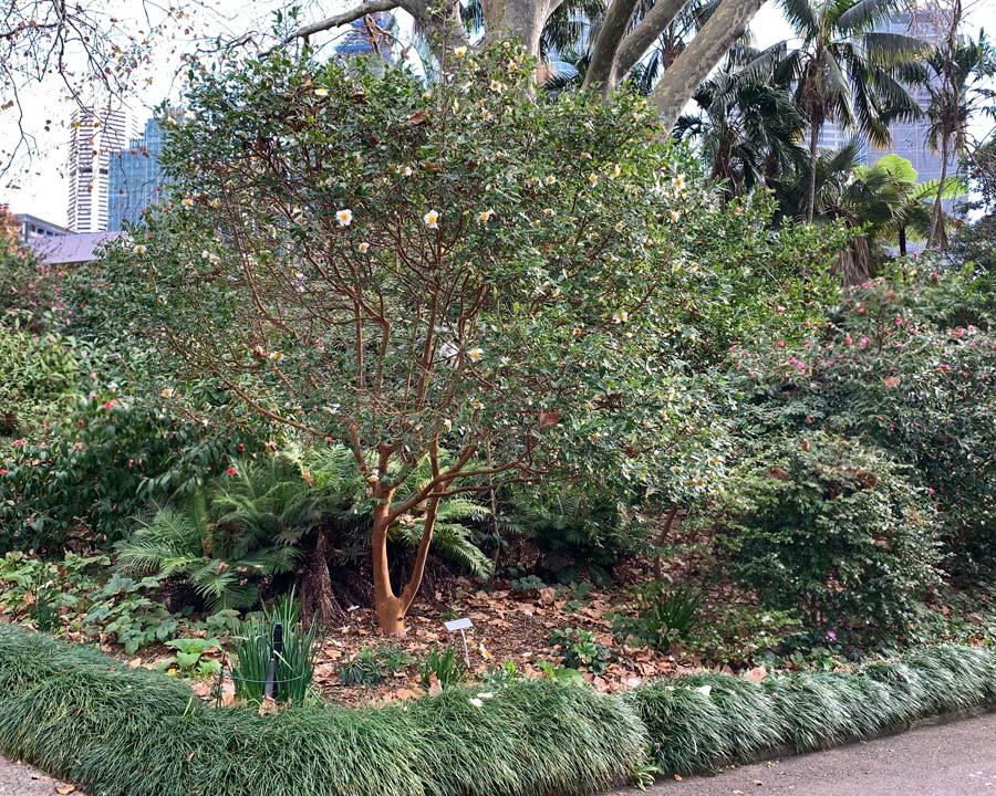 Camellia yunnanensis - has smooth cinnamon coloured bark