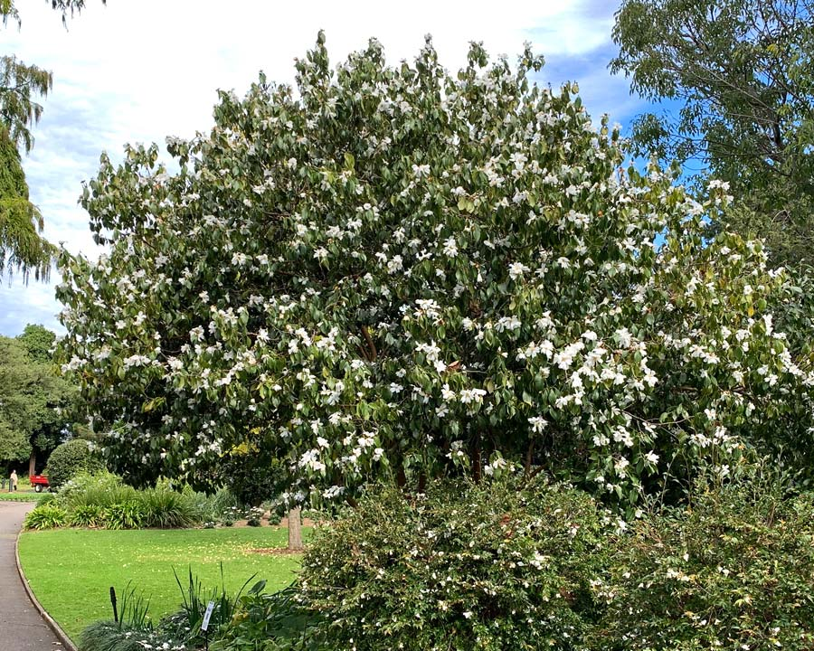 Camellia yuhsienensis - small tree or shrub with rounded habit