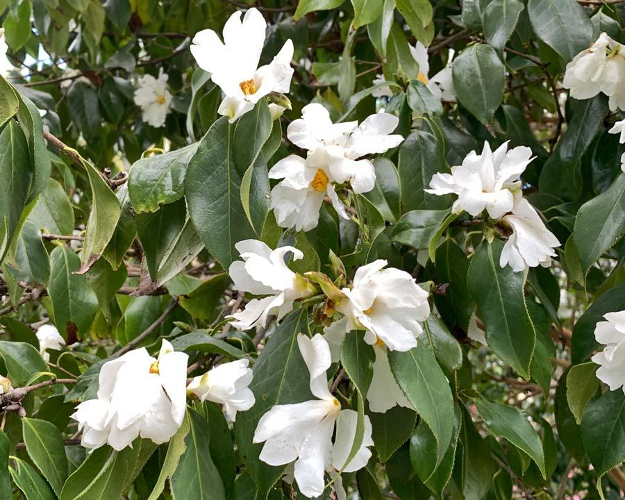 Camellia yuhsienensis -