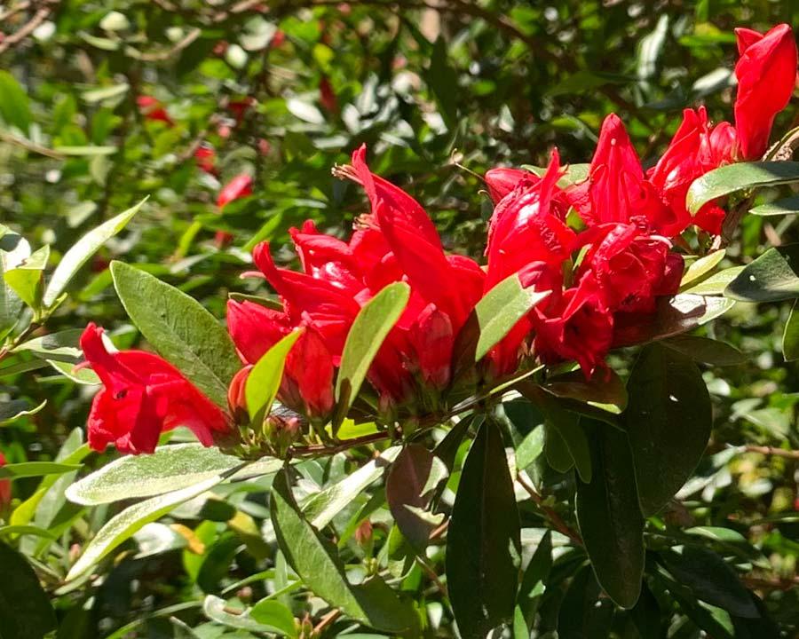 Graptophyllum excelsum - Scarlet Fuchsia - Australian native