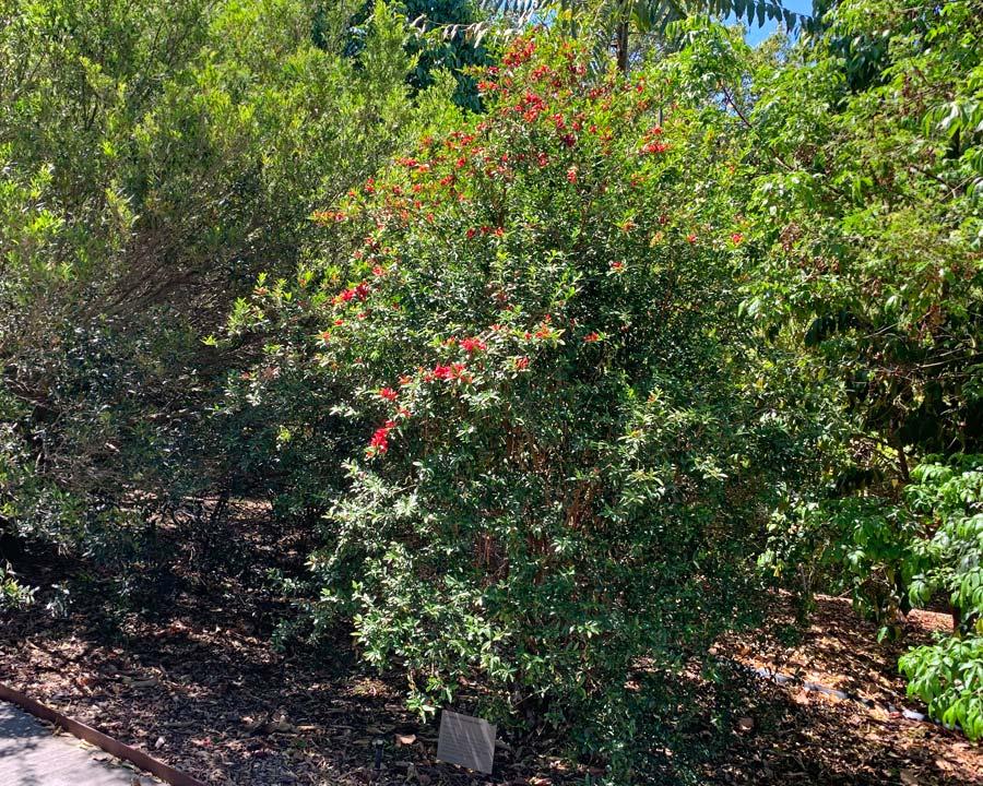 Graptophyllum excelsum - Scarlet Fuchsia -  Mount Annan Botanic Garden