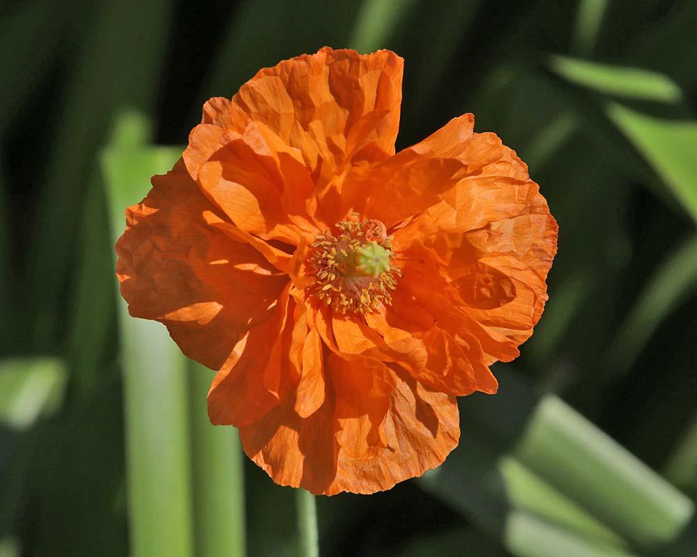 Papaver rupifragum Atlanticum 'Flore Pleno'