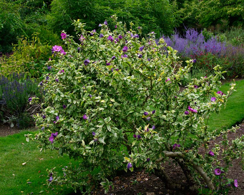 Hibiscus syriacus Variegata