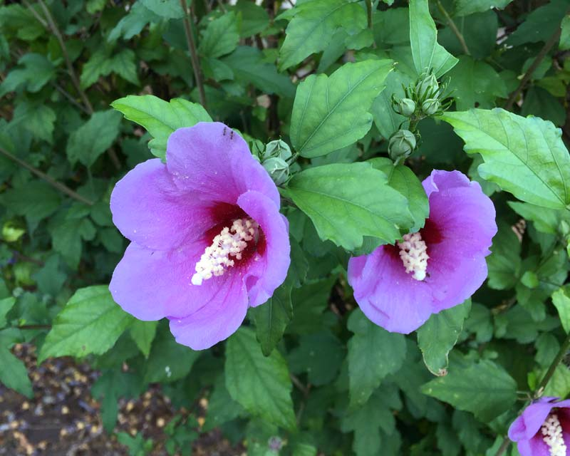 Hibiscus syriacus Blue Bird - Blue to mauve flowers