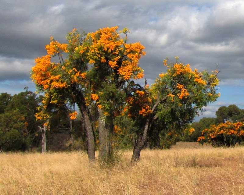 GardensOnline: Nuytsia floribunda