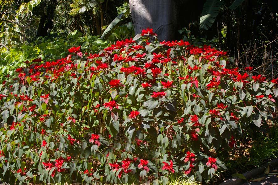 Euphorbia pulcherrima, the Ponsettia provides welcome colour in winter.