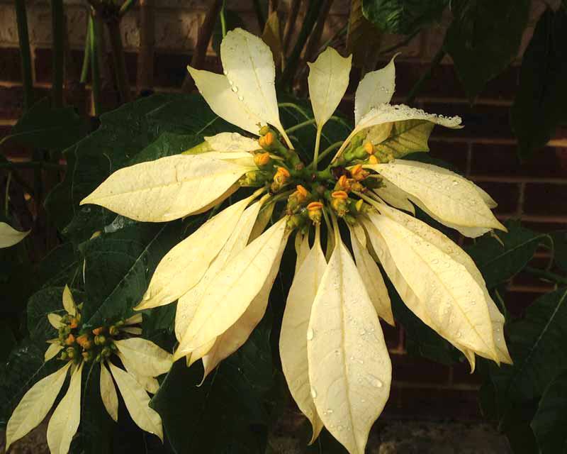 Euphorbia-pulcherrima - cream variant
