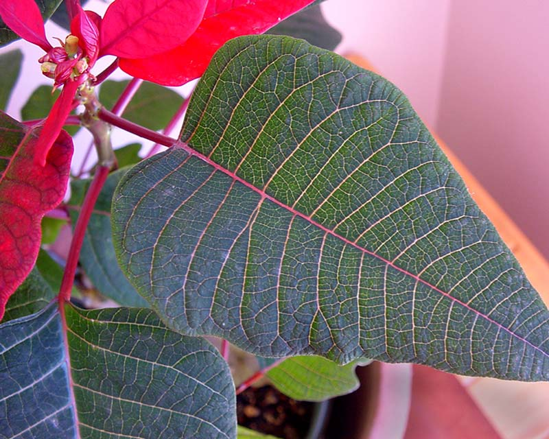 Euphorbia Pulcherrima leaf