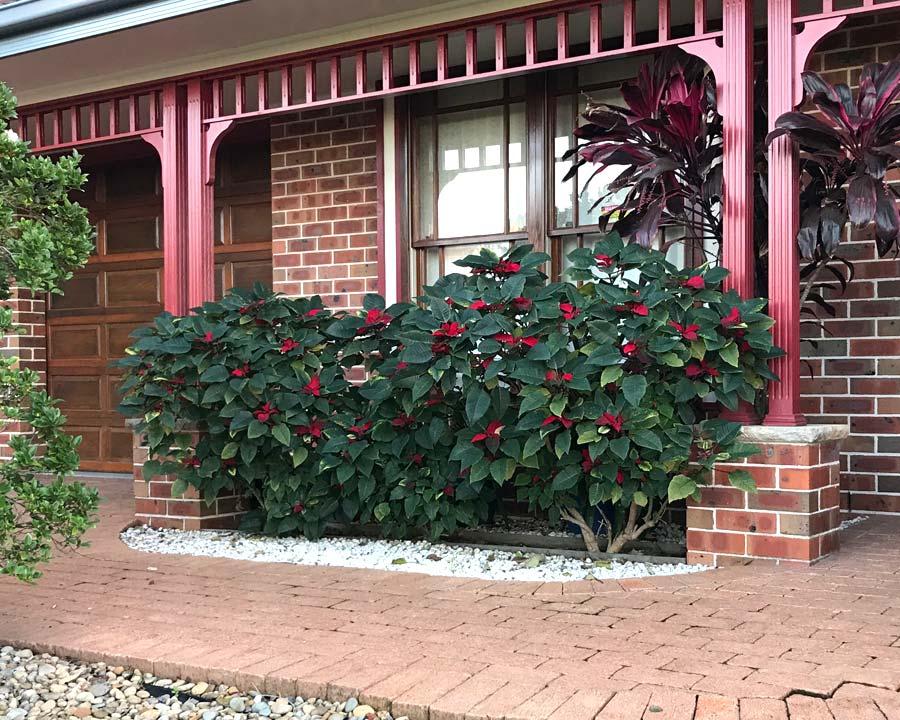 Euphorbia pulcherrima as a hedge