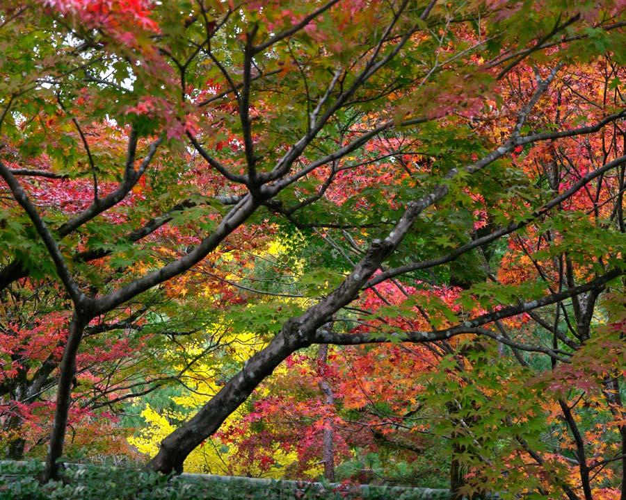 Acer palmatum on the turn, as seen at Arashiyama, Japan