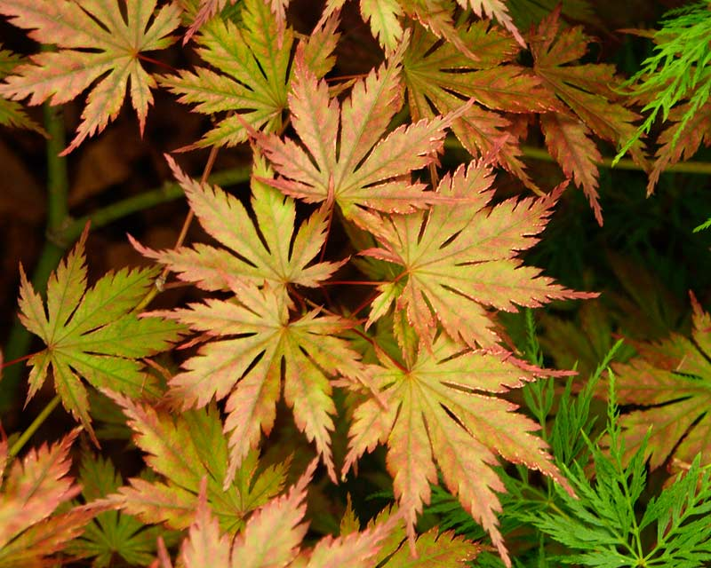 Japanese Maple. Acer palmatum Ariadne