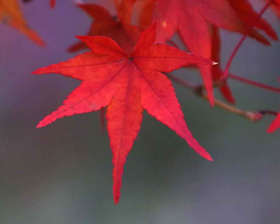 Acer palmatum in autumn