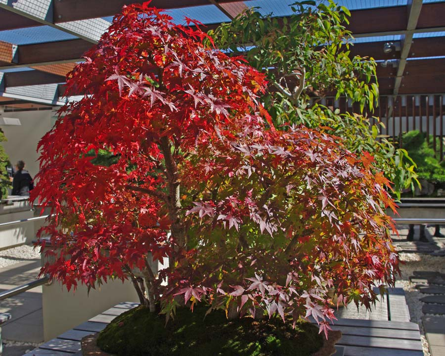 Bonsai forest of Acer palmatum - part of the Bonsai collection in the National Arboretum Canberra