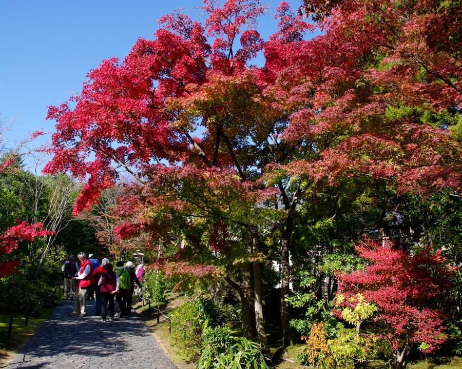 Acer palmatum, seen at Himeji Castle, Japan