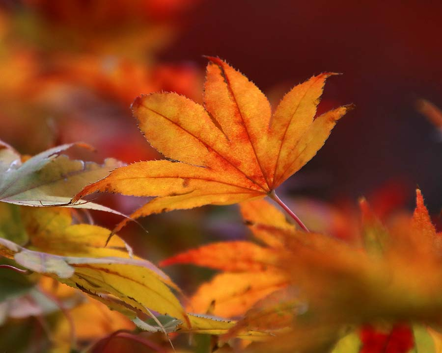 Acer palmatum, the autumn colours are so much more intense in Japan