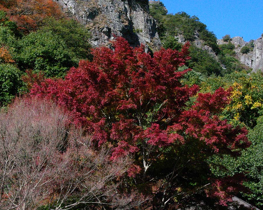 Acer palmatum in autumn at Kankakei Gorge, Japan
